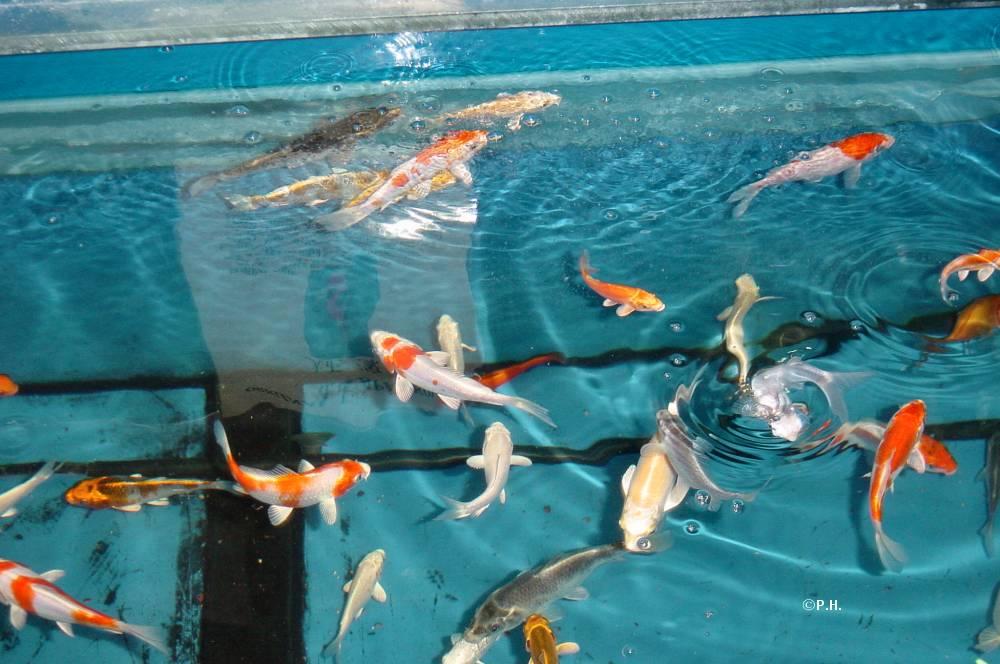 Koi goldfische filtertechnik alles f r den gartenteich for Goldfische gartenteich winter